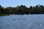Ducks and sailboats at park
